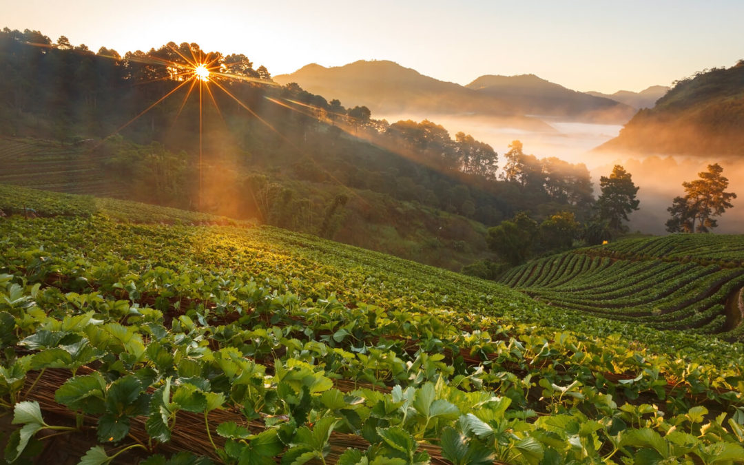 Sunlight to Sunflowers: Solar Panels and Agriculture